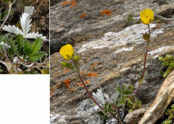 Potentilla nivea L. subsp. nivea