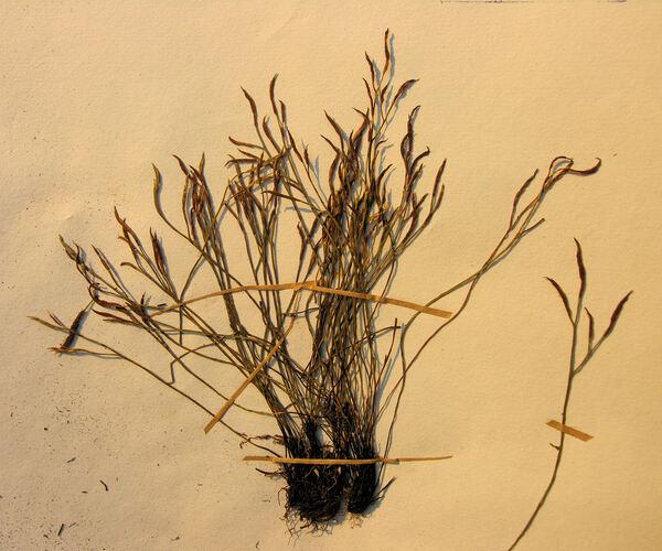 Asplenium septentrionale (L.) Hoffm. subsp. septentrionale
