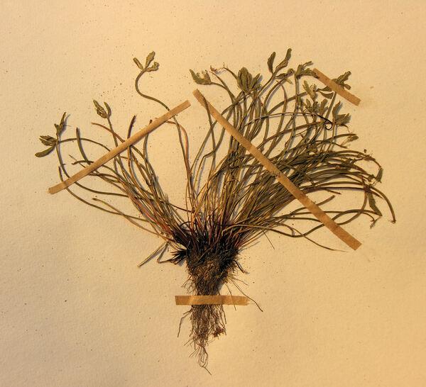 Asplenium seelosii Leyb. subsp. seelosii