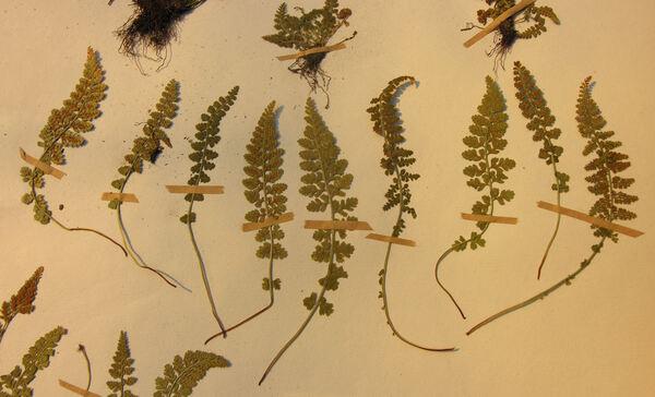 Asplenium fontanum (L.) Bernh. subsp. fontanum