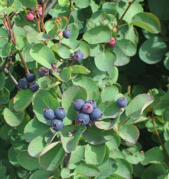 Amelanchier alnifolia (Nutt.) Nutt. ex M. Roem.