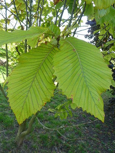 Quercus pontica K. Koch
