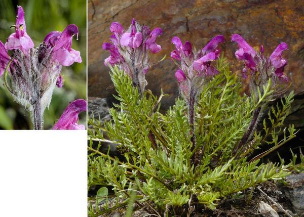 Pedicularis rosea Wulfen subsp. allionii (Rchb.f.) Arcang.