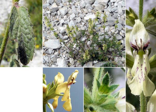Stachys recta L. subsp. grandiflora (Caruel) Arcang.