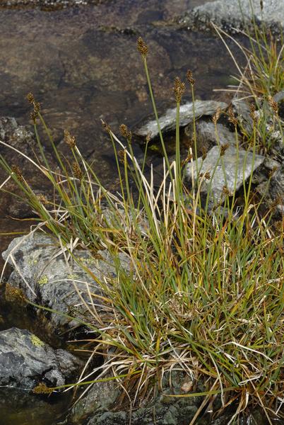 Carex lachenalii Schkuhr