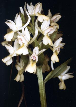 Dactylorhiza romana (Sebast.) Soó subsp. romana