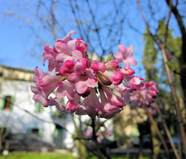 Viburnum x bodnantense Stearn