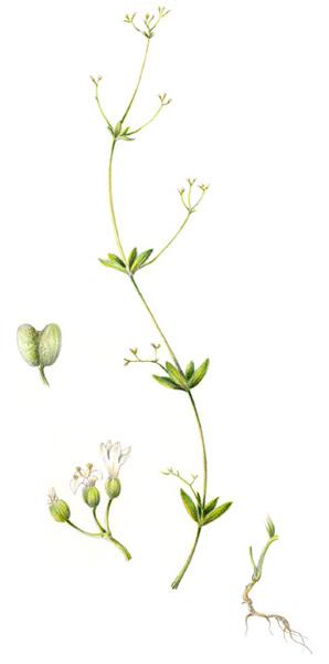 Asperula laevigata L.