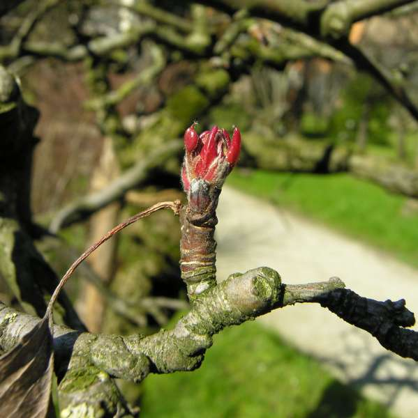 Malus floribunda Siebold ex Van Houtte