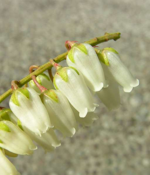 Pieris japonica (Thunb.) D.Don