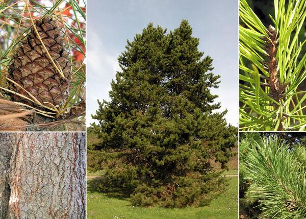Pinus contorta Dougl. ex Loud.