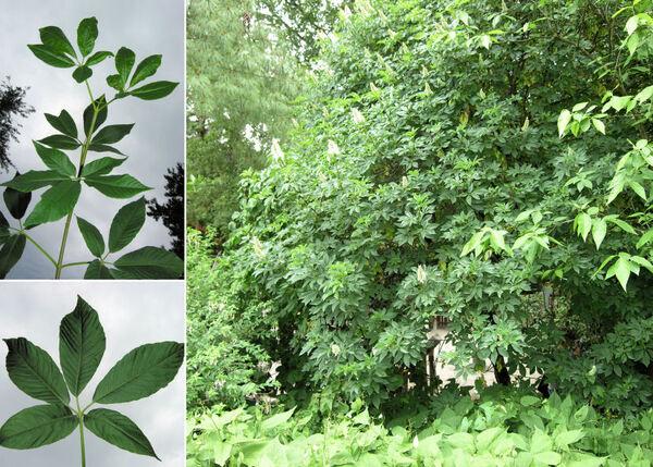 Aesculus californica (Spach) Nutt.