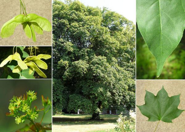 Acer cappadocicum Gled. subsp. lobelii (Ten.) A.E.Murray