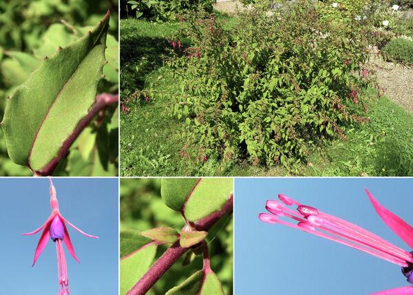 Fuchsia magellanica Lam.