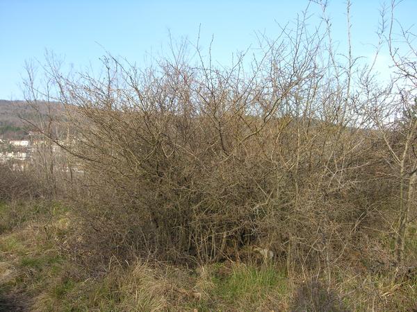 Prunus spinosa L. subsp. spinosa