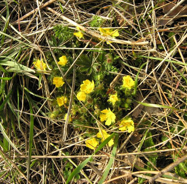 Potentilla heptaphylla L. subsp. australis (Nyman) Gams