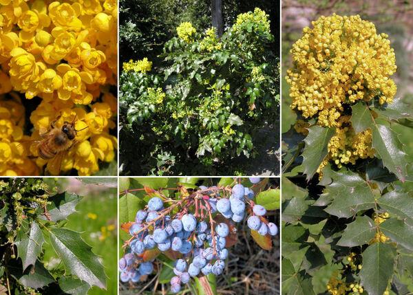 Mahonia aquifolium (Pursh) Nutt.