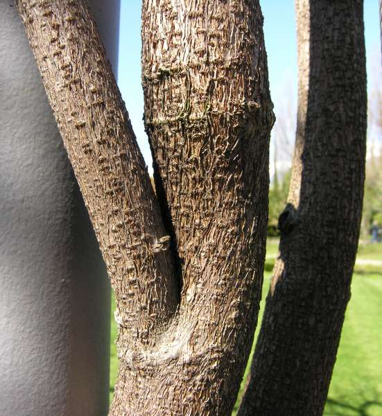 Wisteria floribunda (Willd.) DC.