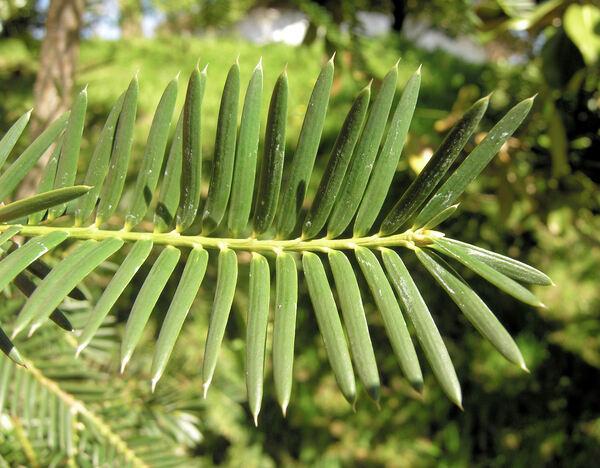 Torreya taxifolia Arn.