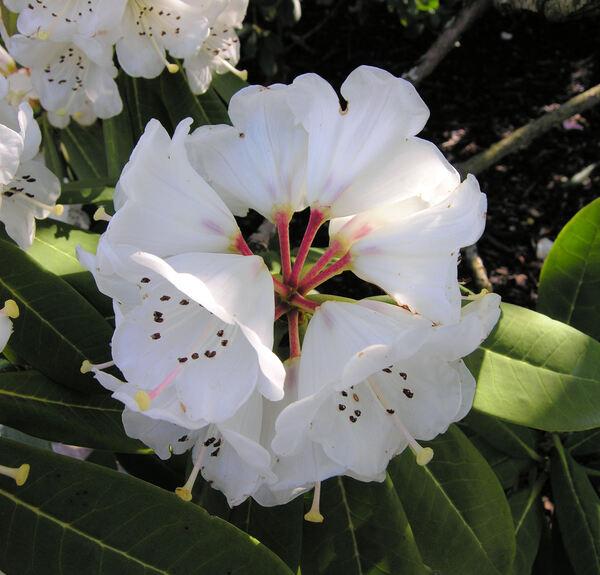 Rhododendron calophytum (C. B. Clarke) Ridley