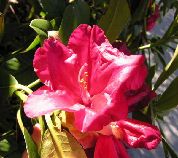 Rhododendron hirtipes Tagg
