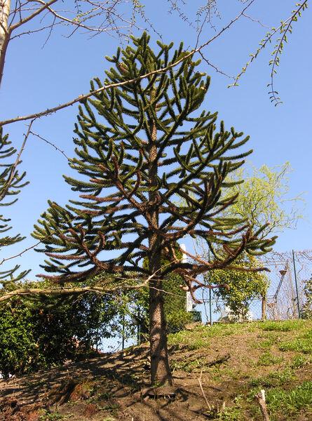 Araucaria araucana (Molina) K.Koch