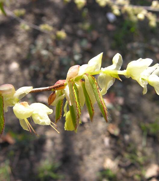 Corylopsis pauciflora Siebold & Zucc.