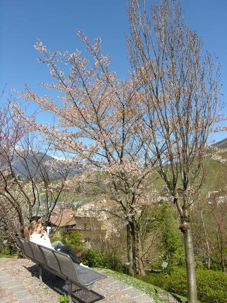 Prunus x yedoensis Matsum.