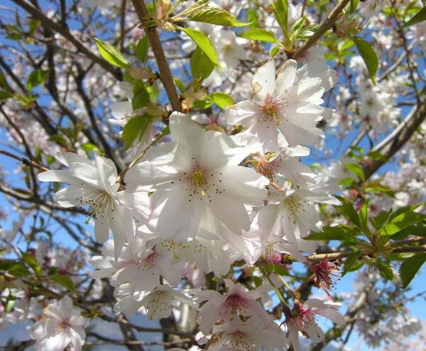 Prunus subhirtella Miq.