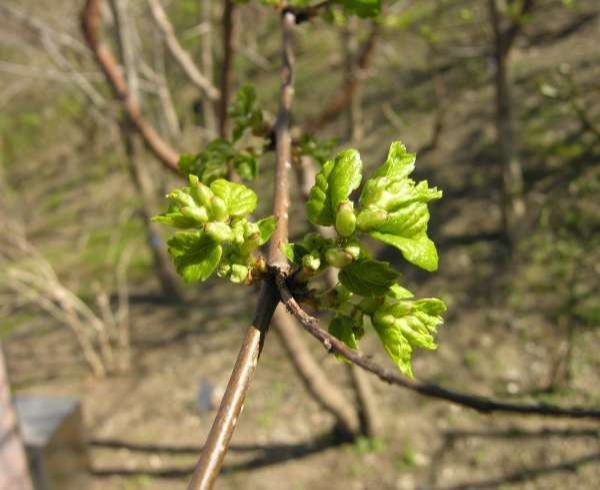 Hemiptelea davidii (Hance) Planch.