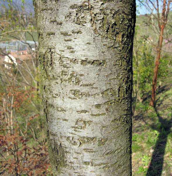 Prunus glandulosa Thunb.
