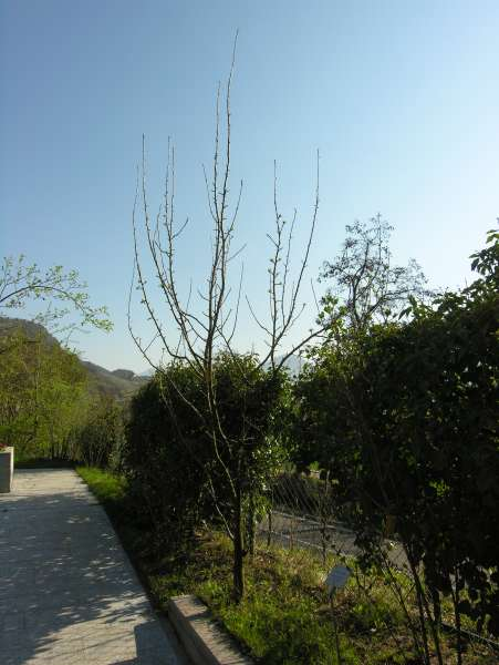 Malus sylvestris (L.) Mill.