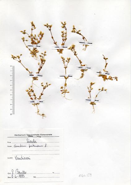 Cerastium pentandrum L.