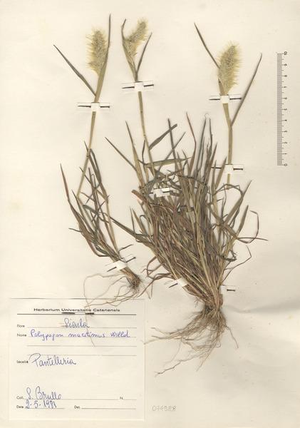 Polypogon maritimus Willd. subsp. maritimus
