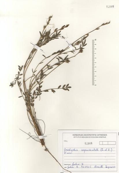 Onobrychis aequidentata (Sm.) d'Urv.