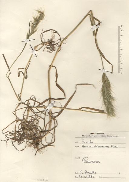 Bromus alopecuros Poir. subsp. alopecuros