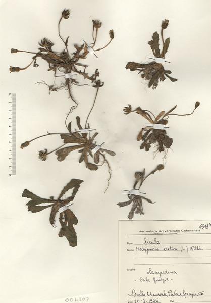 Hedypnois cretica (L.) Willd.