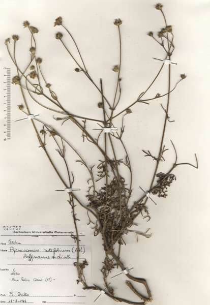 Lomelosia rutifolia (Vahl) Avino & P.Caputo