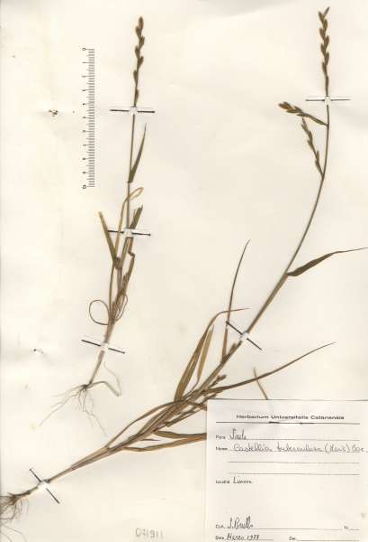 Castellia tuberculosa (Moris) Bor