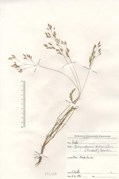 Corynephorus divaricatus (Pourr.) Breistr.