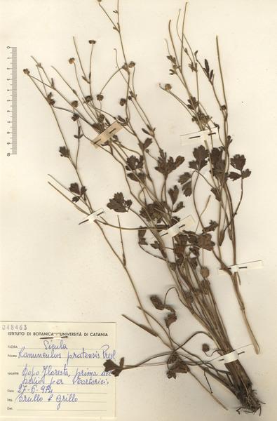 Ranunculus pratensis C.Presl
