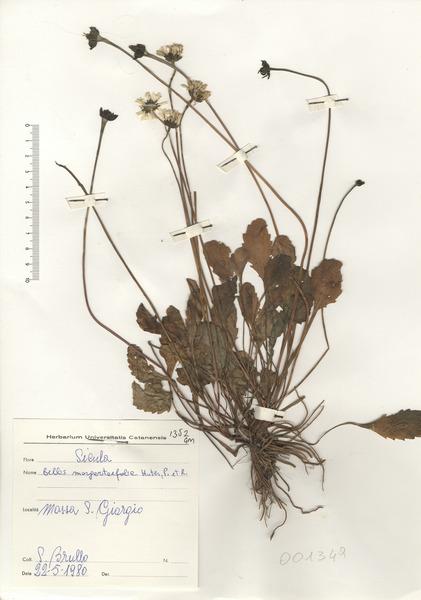 Bellis margaritifolia Huter, Porta & Rigo