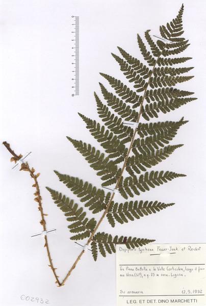 Dryopteris tyrrhena Fraser-Jenk. & Reichst.