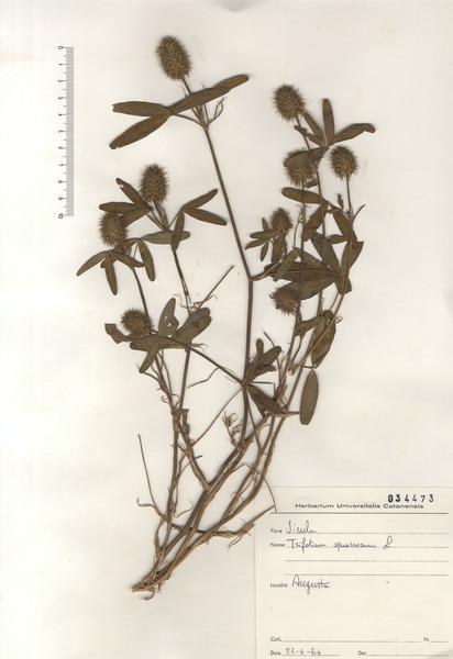 Trifolium squarrosum L.