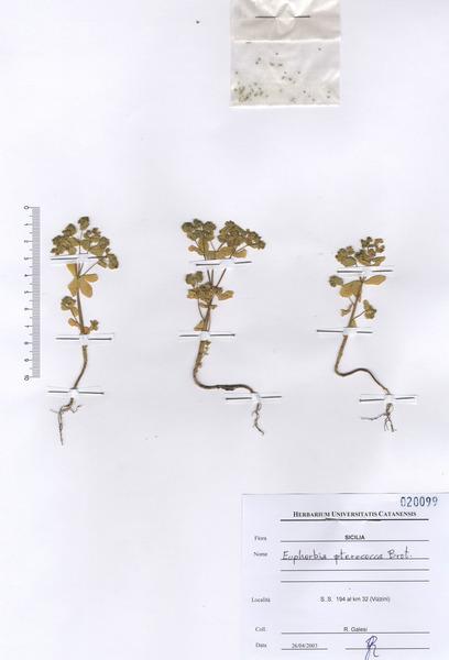 Euphorbia pterococca Brot.