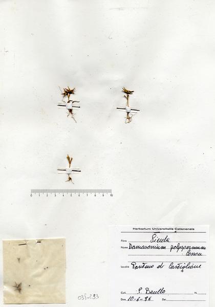 Damasonium polyspermum Coss.