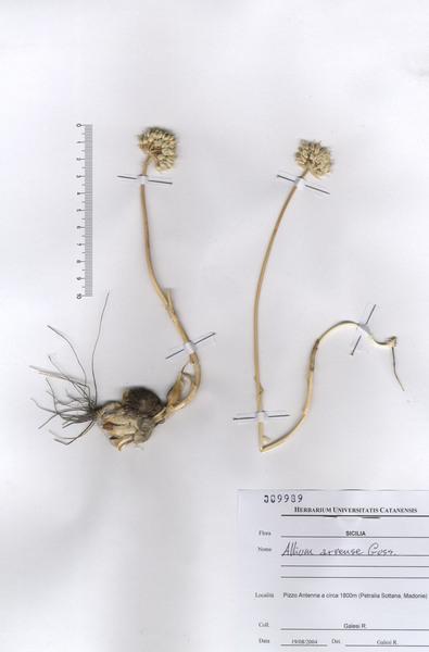 Allium sphaerocephalon L. subsp. arvense (Guss.) Arcang.