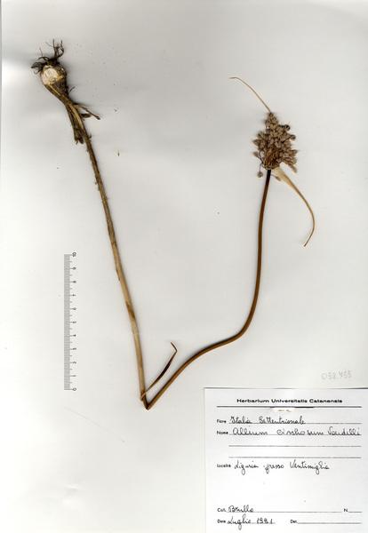 Allium cirrhosum Vandelli