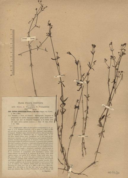 Galium constrictum Chaub.