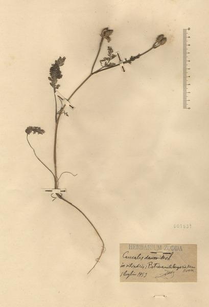 Orlaya platycarpos W.D.J.Koch